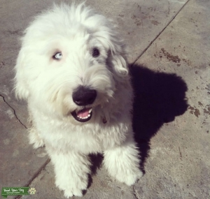 Old English Sheepdog Stud Muffin Available  Listing Image