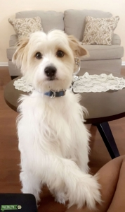 White terrier with caramel spots  Listing Image Thumbnail