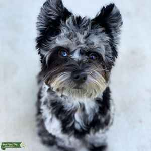 Blue Merle Purebred Yorkie Stud looking for a Female Listing Image