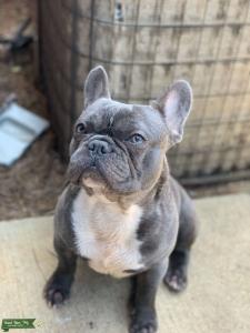 French Bulldog Listing Image