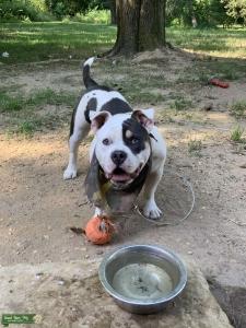Blu Tri PieBald American Bulldog Listing Image