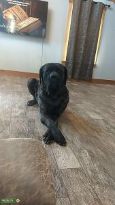 English Mastiff Listing Image