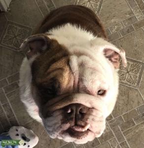 Red and White English Bulldog  Listing Image