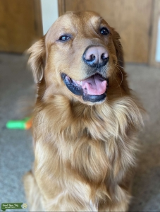 Golden retriever  Listing Image