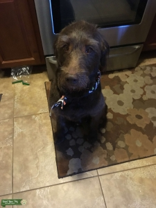 Chocolate Labradoodle F1 - Service and Therapy dog Listing Image