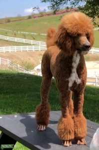 AKC Red Poodle w/Parti Factor Listing Image