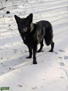 Long-haired Solid Black German Shepherd Listing Image