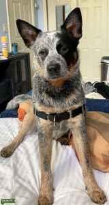 AKC Australian Cattle Dog (blue heeler) for stud Listing Image
