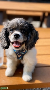Beautiful Speckled Cocker Spaniel Female Listing Image