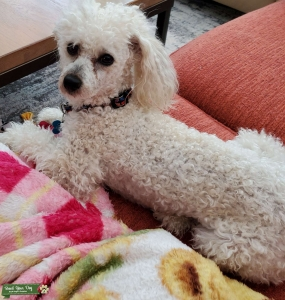 White with light brown spots  poodle Listing Image Thumbnail