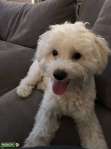 Happy and Friendly Maltipoo Stud  Listing Image