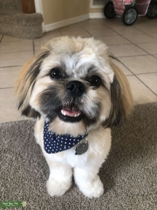Shih tzu male for stud Listing Image