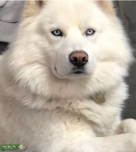 White husky looking for mate  Listing Image