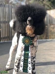 AKC Parti Poodle Stud Service Listing Image