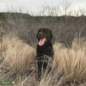 Chocolate Labrador Stud Listing Image
