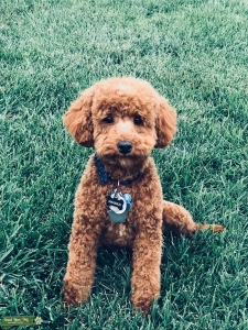 Red Toy Poodle Stud  Listing Image Thumbnail