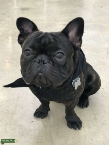 AKC certified Brindle Male French Bull Dog  Listing Image