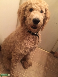 Looking for Female Labradoodle  Listing Image