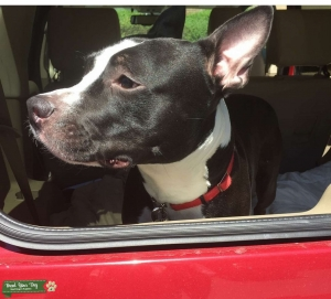 Male Boston Terrier/Lab mix looking to mate Listing Image Thumbnail