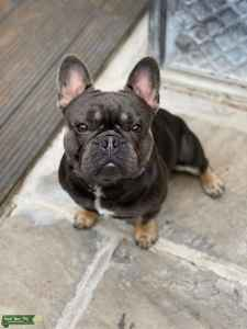 Blue and tan french bulldog for stud Listing Image