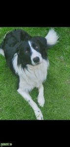 Male Border Collie for Stud Listing Image