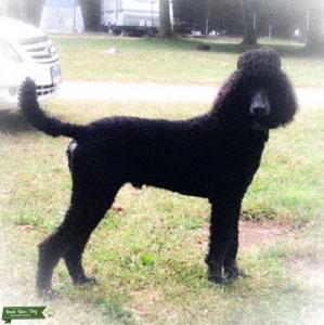 Smoky's Dog Stud Service Listing Image
