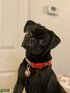 Black Male Pug Listing Image