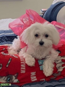 Maltese Female In Heat (8 months)  Listing Image