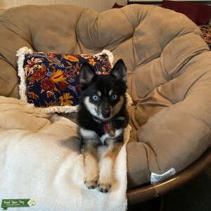 Looking to have pomsky puppies!! Listing Image