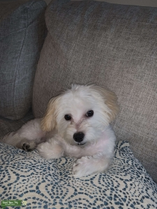 Looking for a female to breed with my yorkiepoo Listing Image