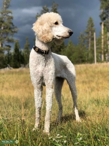 akc. certified apricot standard poodle Listing Image