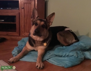 Pure German Shepard with papers ready for breeding  Listing Image