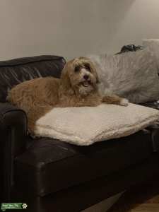 Cavapoo Male Looking to Breed Listing Image