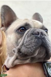 AKC Fawn French Bulldog Stud Listing Image