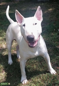 AKC Bull Terrier white male for stud Listing Image