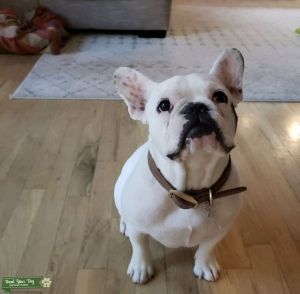 White Frenchie Stud Listing Image