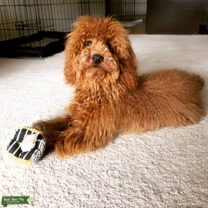 Red Miniature Poodle Listing Image