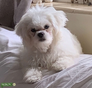 Teddy Bear white (Bichon Frise /Shih Tzu) Listing Image