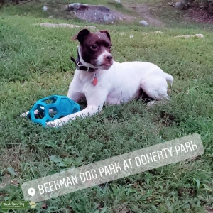 Parsons Jack Russel Terrier STUD! Listing Image