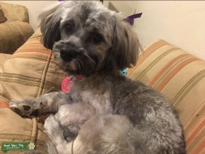 Lovable Havanese Female looking to find a stud Listing Image