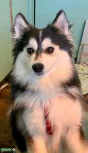Beautiful Happy Pomsky Male Listing Image