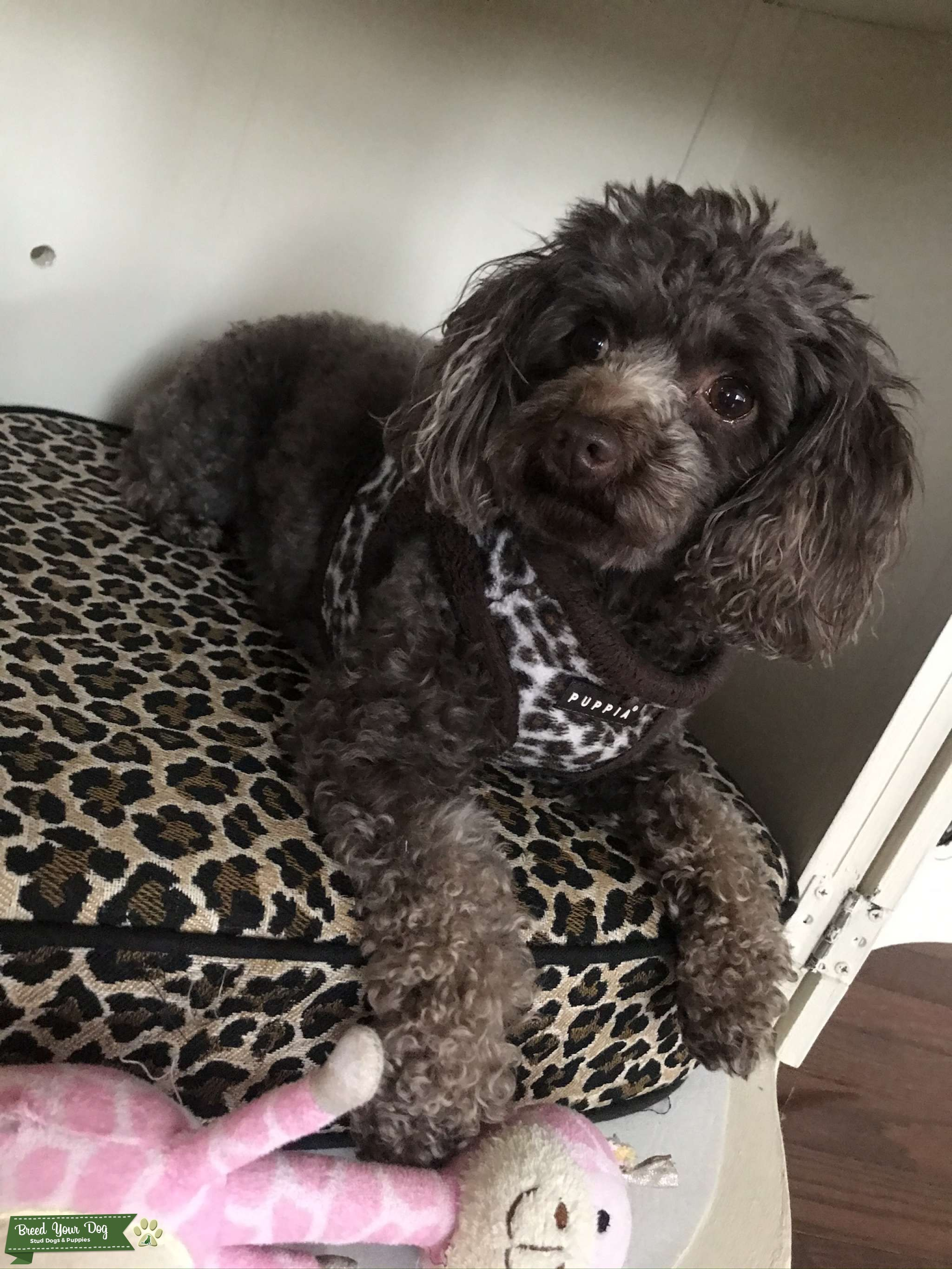 Full Bred Chocolate Toy Poodle Listing Image Big