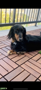 Stud long haired miniature dachshund  Listing Image