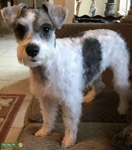 Light Colored Miniature Schnauzer  Listing Image