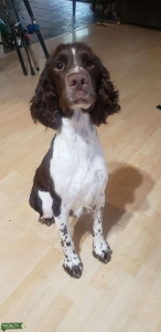 3 yr old Papered Stud Spaniel  Listing Image
