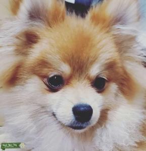 Pomeranian Stud Listing Image
