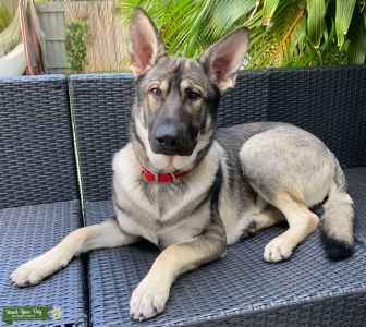 Sable German Shepherd (silver) 1 yr old with pedigree Listing Image