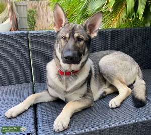 Sable German Shepherd (silver) 1 yr old with pedigree Listing Image