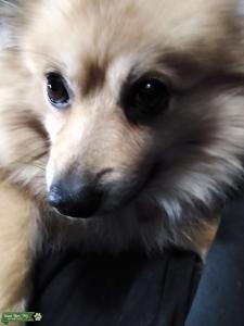 Tan Throwback Pomeranian  Listing Image