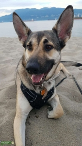 German Shepherd and Low Content Wolfdog Listing Image Thumbnail
